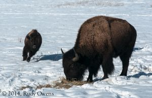 Bison, near Cle Elum, February 2014